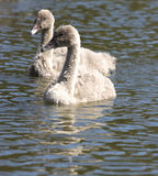 Signets on the water Stock Image
