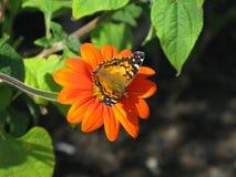 Signora americana Butterfly Fotografie Stock Libere da Diritti