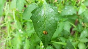 Signora Beetle - scarabeo sulla foglia fotografia stock