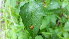 Signora Beetle - scarabeo sulla foglia fotografie stock