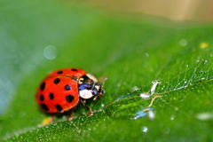 Signora Bug (6408) Immagine Stock Libera da Diritti