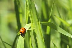 Signora Bug In The Grass Fotografia Stock Libera da Diritti