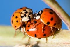 Signora Bugs Immagini Stock