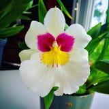 Signora di Dancing orchidea Fotografie Stock Libere da Diritti