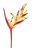 Signora Di ` del ` del becco del ` s del pappagallo di psittacorum di Heliconia fiorisce, fiori tropicali isolati su fondo bianco fotografie stock