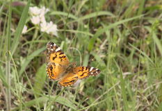 Signora dipinta americano Butterfly nel campo del paese Fotografia Stock