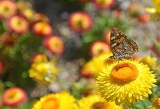 Signora dipinta australiano Butterfly sulla margherita Fotografia Stock