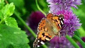 Signora dipinta Butterfly su un fiore stock footage