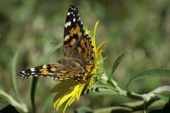 Signora dipinta Butterfly sul girasole nel prato Fotografie Stock Libere da Diritti