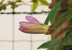 Signora Passiflora Bud della lavanda Immagine Stock Libera da Diritti