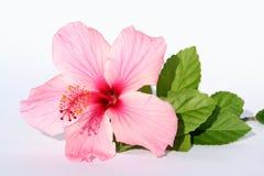 Signora Pink Flower Fotografia Stock