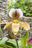 Signora Slipper Orchid Immagine Stock