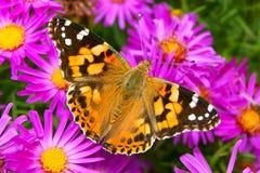 Signora verniciata Butterfly sui fiori di autunno fotografia stock libera da diritti