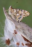 Signora verniciata sul milkweed Fotografia Stock
