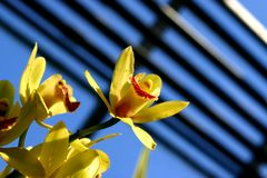 Signs of spring. Yellow freesia blooms reach for the sky royalty free stock images
