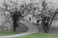 Signs of spring. Bradford pear trees lining driveway Stock Images