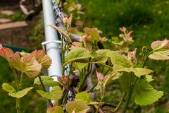 Signs of spring grape vines blooming and buds forming stock photo