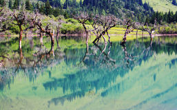 Siguniang Mountain and Lake. Mountains in Sichuan Province. Dead trees standing in the lake. The water reflected their beautiful figure Royalty Free Stock Photo