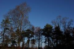 Sihouette de los árboles del arbolado contra el cielo azul Fotografía de archivo