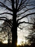 sihouettetree Arkivfoto