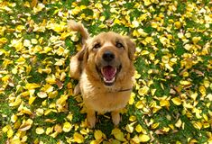 siitting在与黄色秋叶的草的一条愉快的狗 免版税库存图片