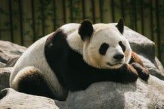Sijpelende panda Royalty-vrije Stock Afbeelding