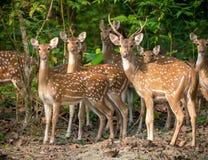 Sika或被察觉的鹿群在密林 免版税库存图片