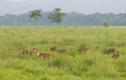 Sika或起斑纹的鹿在狂放 图库摄影