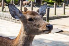 Sika鹿的特写镜头 库存图片