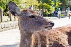 Sika鹿的特写镜头 免版税库存图片