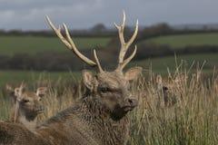 Sika鹿,雄鹿,后面,小牛画象,当在长的草时 库存图片