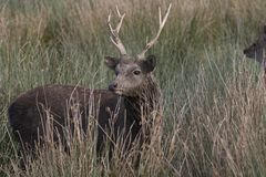 Sika鹿,雄鹿,后面,小牛画象,当在长的草时 库存照片