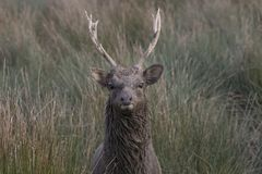 Sika鹿,雄鹿,后面,小牛画象,当在长的草时 免版税库存图片