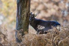 Sika鹿,鹿日本 免版税库存照片