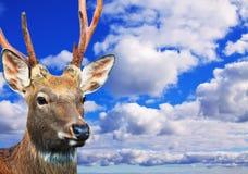 Sika鹿头反对天空的 库存照片