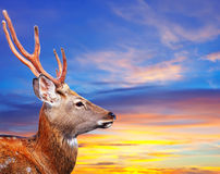 Sika鹿头反对日落天空的 免版税图库摄影