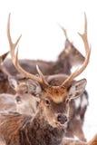 Sika鹿头在雪背景的 免版税库存图片