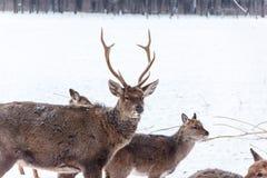 Sika鹿头在雪背景的 库存照片
