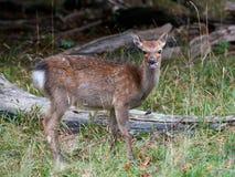 Sika鹿(鹿日本) 库存图片