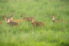 Sika ή επισημασμένο κοπάδι deers στη χλόη ελεφάντων στοκ εικόνες
