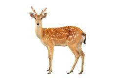 Sika鹿 免版税图库摄影