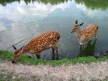 Sika鹿 免版税库存照片