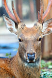 Sika鹿头  库存图片