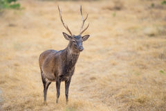Sika Buck Stock Images