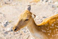 Sika Cervus Nippon Jeleni park na krajobrazie prywatnie obraz royalty free