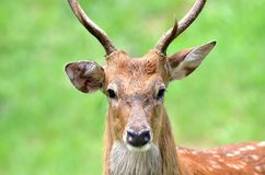 The Sika Dee Stock Photography