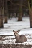 Sika deer. (lat. Cervus nippon Stock Photos