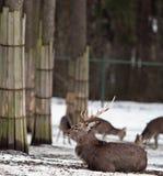 Sika deer. (lat. Cervus nippon Stock Images