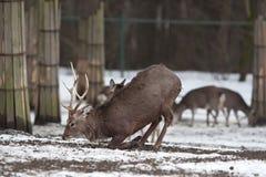 Sika deer. (lat. Cervus nippon Stock Photography