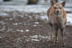 Sika deer. (lat. Cervus nippon Stock Image